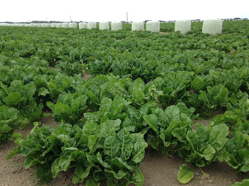 Fodder Beet nearing canopy closure